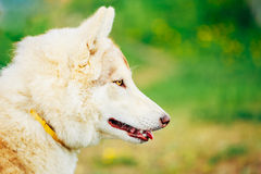 White Adult Siberian Husky Dog (Sibirsky husky) Stock Photography