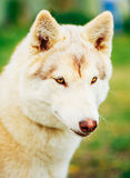 White Adult Siberian Husky Dog (Sibirsky husky) Royalty Free Stock Images