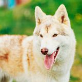 White Adult Siberian Husky Dog (Sibirsky husky) Royalty Free Stock Image
