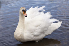 White adult swam. Adult swan fluffing up, Scotland Royalty Free Stock Image