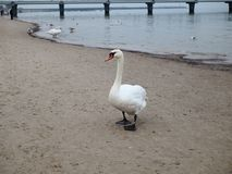 White adult swan on beach by sea stock photos