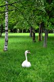White adult swan sitting in the grass. Stock Image