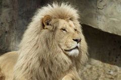 White africa lion. A white africa lion lying on a rock Stock Image