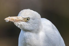 White African Cattle Egret royalty free stock images