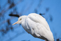 White African Cattle Egret Stock Photo