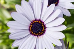 Osteospermum or White African daisy. White African daisy-shaped flowers with purple center or Osteospermum blooming early in spring and will continue blooming Stock Photo