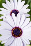 Osteospermum or White African daisy. White African daisy-shaped flowers with purple center or Osteospermum blooming early in spring and will continue blooming Stock Image