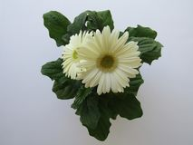 White African Daisy top view stock photos