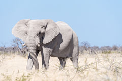 White African elephant, covered with white calcrete dust Royalty Free Stock Images
