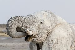 White african elephants on Etosha waterhole. African elephants on waterhole with white mud, Etosha national Park, Ombika, Kunene, Namibia. True wildlife Stock Image