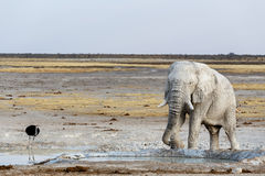 White african elephants on Etosha waterhole Stock Photography