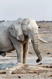 White african elephants on Etosha waterhole Royalty Free Stock Images