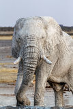 White african elephants on Etosha waterhole Royalty Free Stock Image
