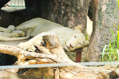 White african female lion resting Stock Photo