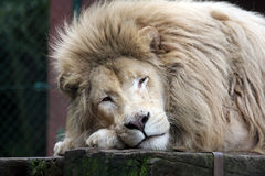 White african lion Stock Photo