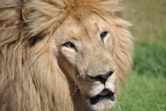 White African Lion Stock Image
