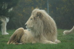 White African Lion - Panthera leo Stock Photography
