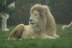 White African Lion - Panthera leo Royalty Free Stock Photo