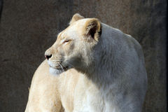 White african lioness Stock Image