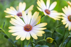 White african moon daisy, oxeye daisy Stock Image