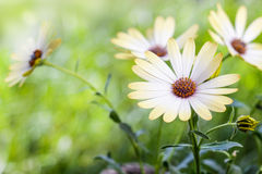 White african moon daisy, oxeye daisy Royalty Free Stock Photos