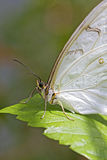 White african Moth Stock Photos