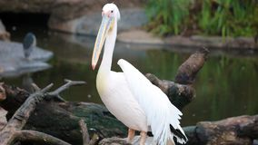 White african Pelicans standing over a log at the shore, fishing in the shore at surf-shore while hunting for food. Sea birds in the ocean close to the beach stock images