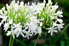White Agapanthus flowers. Stock Images