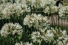 White Agapanthus flowers in a leafy garden. White Agapanthus flowers also known as lily of the Nile in a leafy garden at Seia. On foothill mountains, this royalty free stock photo