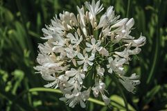White Agapanthus flowers in a leafy garden. White Agapanthus flowers also known as lily of the Nile in a leafy garden at Seia. On foothill mountains, this stock images