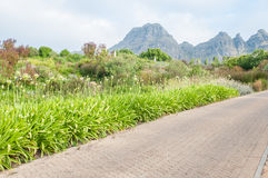 White agapanthus flowers and several fynbos species line a road Stock Image