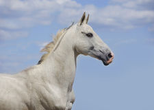 White akhal-teke horse with blue sky behind. White akhal-teke horse portrait with blue sky behind royalty free stock photography