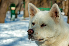 White Akita Inu dog Stock Images