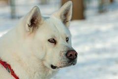 White Akita Inu dog Stock Image