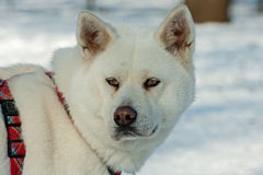 White Akita Inu dog Royalty Free Stock Photos