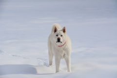 White Akita in the Snow Stock Photography