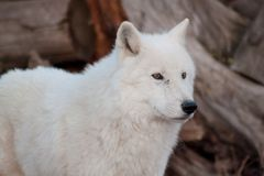 White alaskan tundra wolf close up. Canis lupus arctos. Polar wolf or white wolf. Animals in wildlife royalty free stock photo