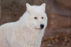 White alaskan tundra wolf close up. Canis lupus arctos. Polar wolf or white wolf. Animals in wildlife stock image