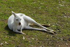 White Albino Australian Western Grey Kangaroo in Natural Setting Royalty Free Stock Photos
