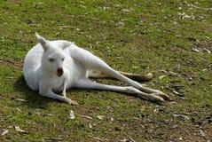 White Albino Australian Western Grey Kangaroo in Natural Setting Royalty Free Stock Photos