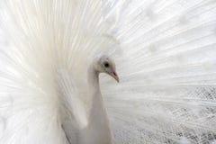 White albino beautiful peacock. Closeup image of bird. White albino beautiful peacock. Closeup image of wild elegant bird royalty free stock photo