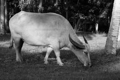 White albino buffalo Stock Photo