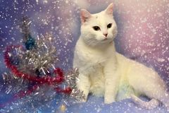 White albino cat on a blue background Royalty Free Stock Image