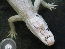 White albino crocodile. Under the water in the zoo in USA Royalty Free Stock Photos