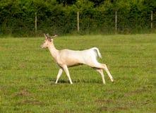 White albino deer Royalty Free Stock Photo