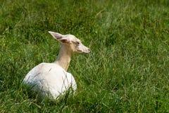White albino deer Stock Photos