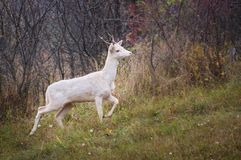 WHite deer albino stag albinism at animals roebuck. White albino deer isolated in the wild animal with albinism which is very rare Stock Photos
