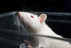 White (albino) laboratory rat in acrylic cage Royalty Free Stock Photos