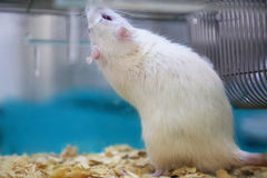 White (albino) laboratory rat Stock Photos
