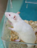 White (albino) laboratory rat in acrylic cage Stock Images